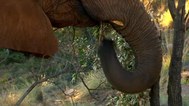 CU of elephant eating/ Etosha National Park/ Namibia