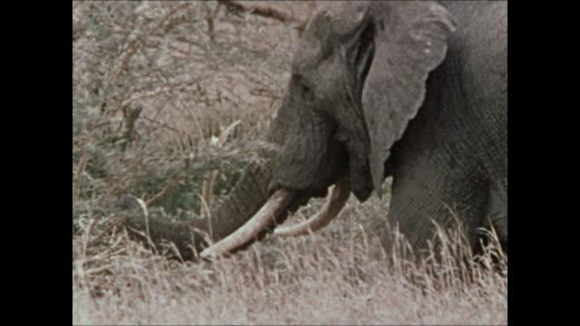 Elephant eating taller vegetation pulling branch of small tree pulling branch off tree reaching up pulling branch down elephant uprooting tree...
