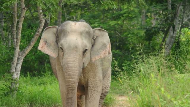 Elefante inserito