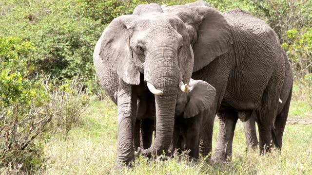 Famiglia di elefante