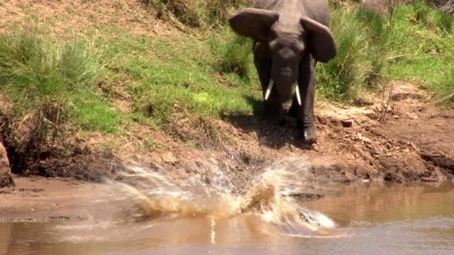 Elephant herd approaches Mara River, one elephant startled by crocodile, Kenya