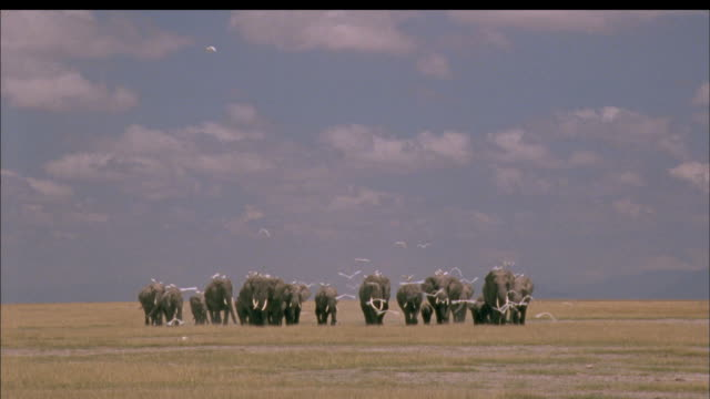 Elephant herd carrying egrets on their backs whilst other egrets fly towards camera, Africa Available in HD.