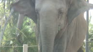 (HD1080i) Elephant Looks at Camera