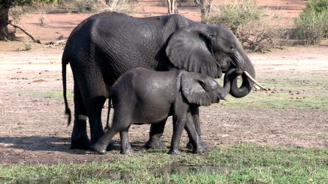 Elephant mother and calf on the banks of the Chobe rver.Chobe National Park.Botswana