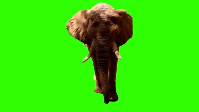 Elefante su schermo verde