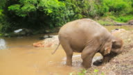 Elephant playing the mud