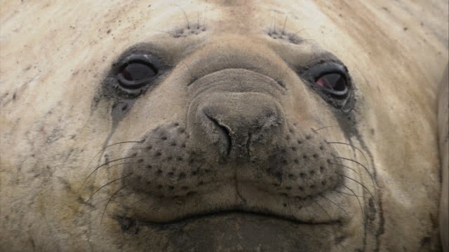 ECU, TD, Elephant Seal, headshot, South Georgia Island