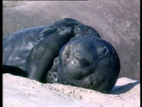 Elephant Seal pup lies on beach sleeping and yawning