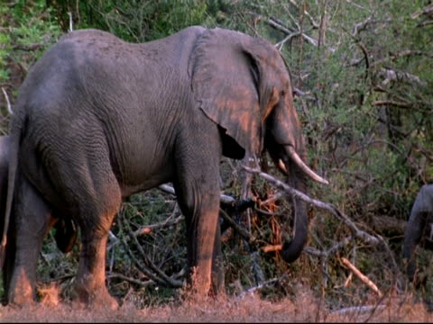 MCU Elephant standing in woodland, using trunk to forage, camera pan right to reveal baby elephant, Mana Pools, Zimbabwe