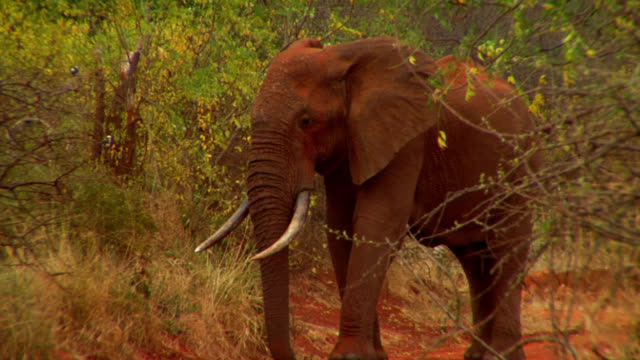 Elephant Throws Dust