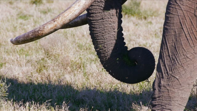 elephant trunk and tusks