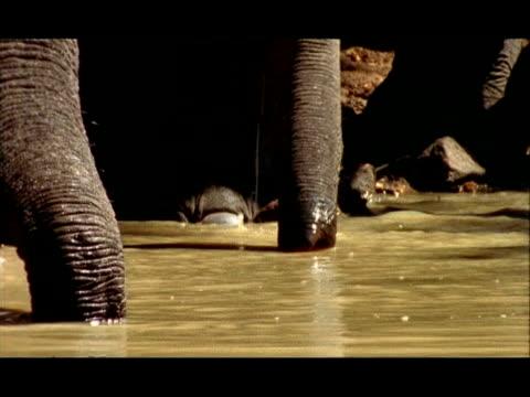 Elephant (Elephas maximus) trunks drinking water, Nagarahole, Southern India