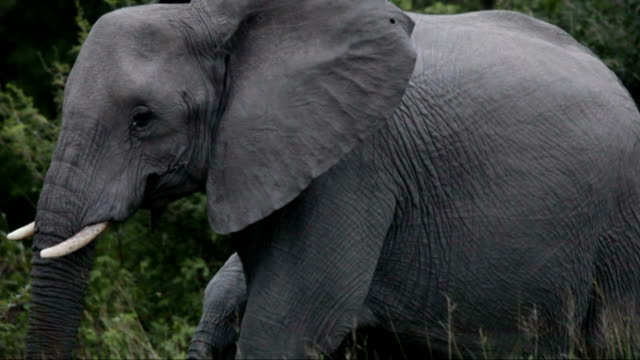 Elephant walking across screen with green bush in background/ Kruger National Park/ South Africa