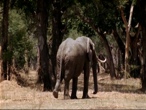 MS Elephant walking away from camera, to tree, stretches up to reach leaves, Mana Pools, Zimbabwe
