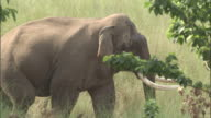 Elephant walks behind trees, Chilla sanctuary, India Available in HD.