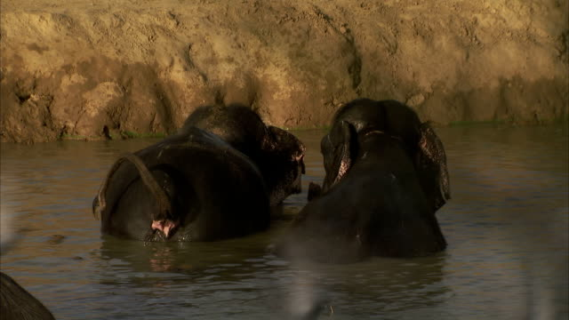 Elephants bathe in muddy water. Available in HD