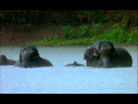 Elephants (Elephas maximus) bathing in pool in rain, Nagarahole, Southern India