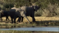 Elephants drink at a watering hole. Available in HD.