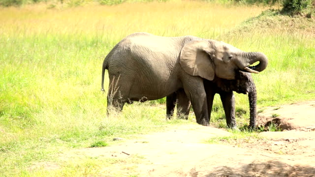 Elephants drinking and playing with water-02/13