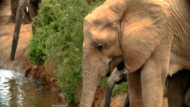 MS SHAKY Elephants (Loxodonta africana) drinking water / Addo Elephant National Park/ South Africa