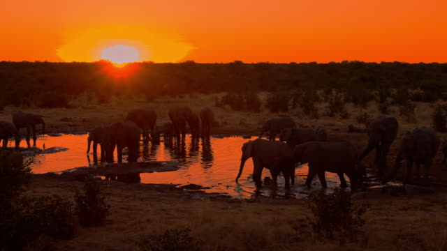 LS DS Elephants Drinking Water at sunset