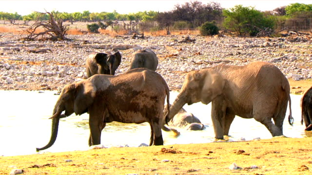 Elephants drinking water by a water hole/ Etosha National Park/ South Africa