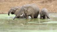 MS Elephants drinking water in lake / Lukuzi, Eastern, Zambia