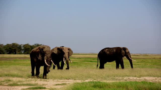 Elephants grazing at Amboseli
