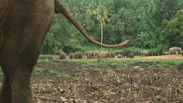 WS ZO Elephants in elephant orphanage, Pinnewala, Sri Lanka