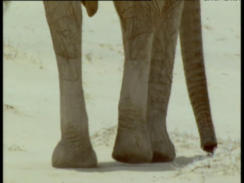 Elephant's legs walk through heat haze of desert