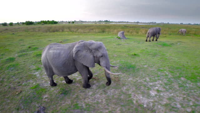 Elephants on the move through the bush