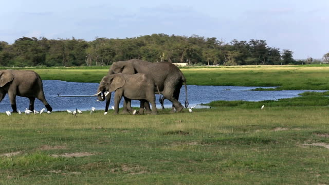 Elephants - ready to sex with big penis