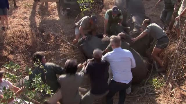 Elephants 'relocated' to animal sanctuary MALWAI Majete Wildlife Reserve INT Marksman in helicopter shooting elephants with tranquiliser gun Various...