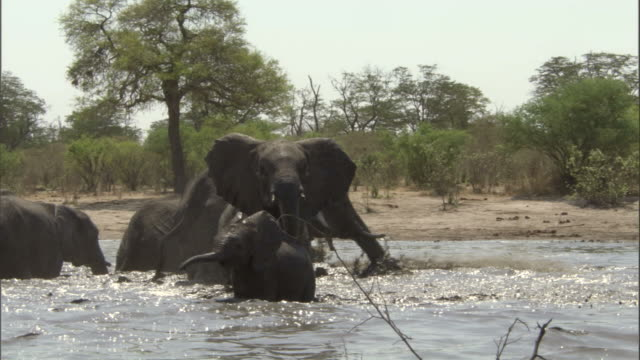 Elephants run and splash through a swamp in Botswana. Available in HD.