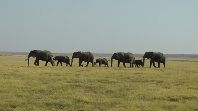 Elephants walking