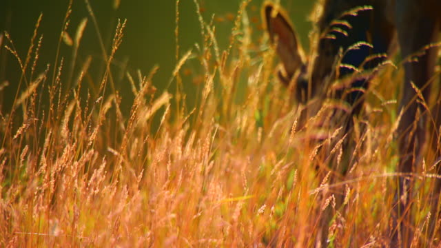 Elk eating in field, slow motion