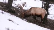 Elk grazing on hillside, Yellowstone National Park, Wyoming
