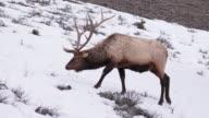 Elk grazing, Yellowstone National Park, Wyoming