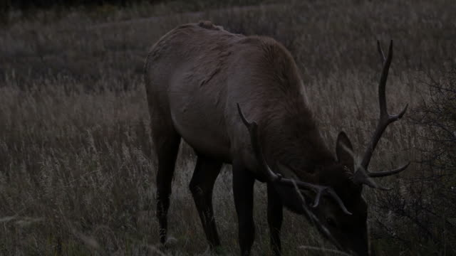 Elk: Rocky Mountain NP