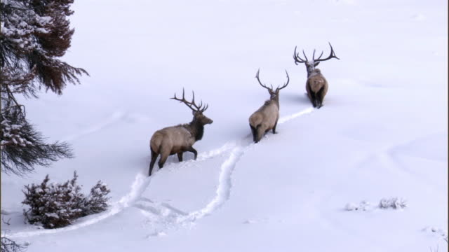 Elk (Cervus canadensis) stags trudge through deep snow, Yellowstone, USA