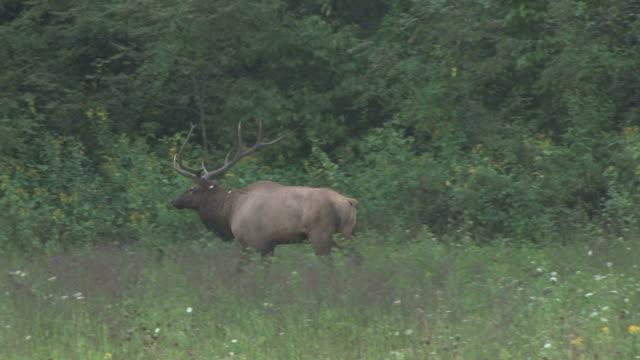 Elk walking away - HD 30F