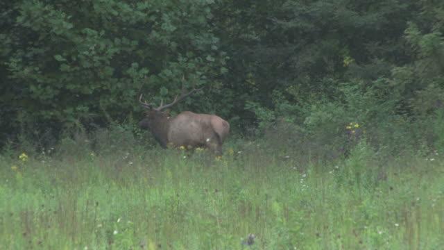 Elk walking in the woods - HD 30F