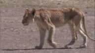 Emaciated lion walks across savannah. Available in HD