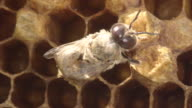 Emergence Of Honey Bee