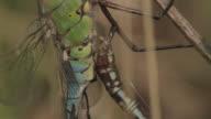 Emperor dragonflies (Anax imperator) mate, Essex, England