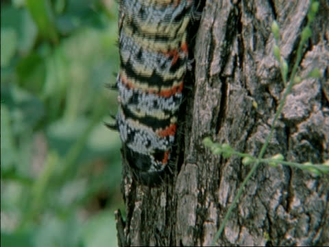 CU Emperor Moth Caterpillar reaching from one side of a tree to another searching, Botswana, Africa