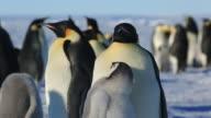 Emperor penguin (Aptenodytes fosteri) chick begs, adult begins to bring up food