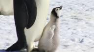 CU Emperor penguin chick pestering parent / Antarctica