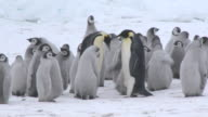 Emperor penguin (Aptenodytes forsteri), chicks at creche, adults meet and display, Cape Washington, Antarctica