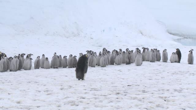 Emperor penguin (Aptenodytes forsteri), chicks at creche, Cape Washington, Antarctica